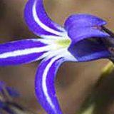 lobelia-gibbosa